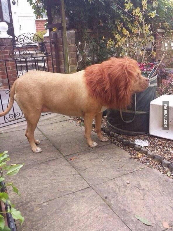 Ijesztgesd a szomszédokat, tegyél parókát a kutyára :)